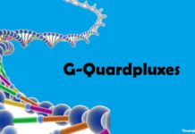 What is G-Quadruplexes